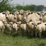 Almodóvar acoge la Feria del ganado