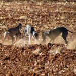 La Federación de Caza denuncia el furtivismo de la caza con galgos en Castilla-La Mancha