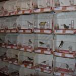 Alcázar: Más de mil canarios participan en el XXVIII Concurso-Exposición de Canaricultura y Ornitología