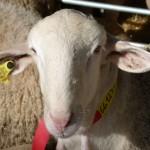 La bolsa-subasta de sementales en 2013 hará doblete en Manzanares