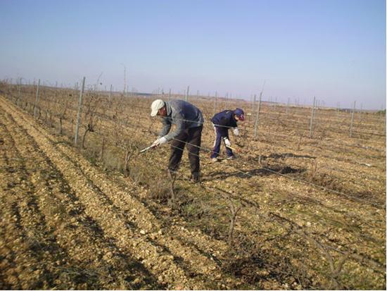 Termina el curso de poda de viñedos organizado por el Ayuntamiento de Pedro Muñoz con gran satisfacción de alumnos y agricultores participantes