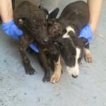 Lamentable: Encuentran en Puertollano tres cachorros de galgo abandonados, uno de ellos en un contenedor de basura