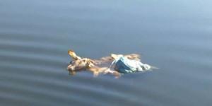 Cadáver de oveja flotando en las aguas del río Bañuelos