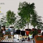 Valdepeñas: La Guardia Civil detiene a tres personas e imputa a una cuarta por cultivar marihuana y distribuirla