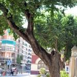 Ciudad Real: Se desploma una rama de 400 kilos y 20 metros de un árbol situado a la entrada del Parque de Gasset