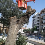 Ciudad Real: El olmo centenario del Parque de Gasset es talado y descuartizado