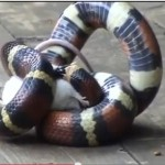 Pavoroso hallazgo en Ciudad Real: Una boa constrictor podría estar deambulando por el pantano del Vicario