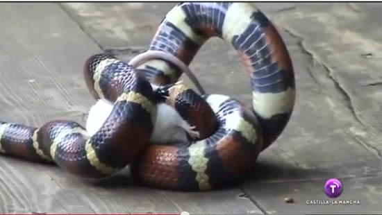 Boa constrictor (imagen de archivo)
