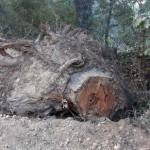 Ecologistas en Acción denuncia la tala de más de cien alcornoques en Fuencaliente