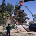 """El Ayuntamiento de Ciudad Real dice que la continua caída de árboles es un """"proceso normal"""" después de las lluvias"""