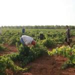 CCOO expresa su preocupación por la fuerte caída de afiliaciones a la Seguridad Social de los temporeros agrarios