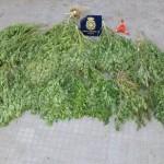 Puertollano: Detenidos dos jóvenes que tenían en su patio una plantación de marihuana de 65 kilos