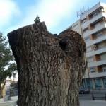 Ciudad Real: Pálpito de vida en el tocón del viejo olmo