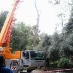 """Daimiel: El Ayuntamiento retira un pino de 26 metros en El Parterre """"para evitar posibles incidencias"""""""