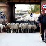 1.400 ovejas merinas cruzan Manzanares camino del Valle de Alcudia