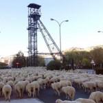 Puertollano revive la transhumancia: 1.400 ovejas merinas atraviesan la ciudad camino del Valle de Alcudia