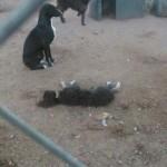 Brutal episodio en Huellas Puertollano: Muere un cachorro tras ser lanzado por encima de la verja