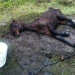 "La Guardia Civil imputa a una persona por dejar a un caballo ""en condiciones deplorables"""