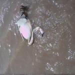 «¡Esto es un desastre!»: Pastores denuncian la situación de un río Azuer «envenenado» y con animales muertos