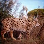 Ecologistas en Acción reclama que se ponga fin a los métodos de control de predadores que han causado la muerte del lince Kairós