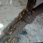 Los gusanos que han aparecido en los parques de Ciudad Real son larvas de un escarabajo que se alimenta de hojas de olmo