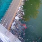 Ciudad Real: La muerte de peces en el Parque del Pilar se debe a un tratamiento contra las algas que proliferan en el lago