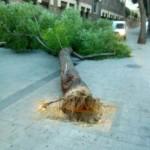 """Ciudad Real: Expertos botánicos consideran """"apropiada"""" la tala de las melias y advierten de los riesgos de mantener árboles en condiciones inadecuadas"""