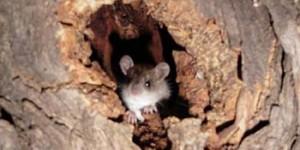 Ratón en un árbol del Paseo de San Gregorio. Foto: Ángela (Archivo)
