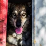 Nuevo caso de maltrato animal: La protectora de Ciudad Real rescata a un perro con una cadena incrustada en el cuello