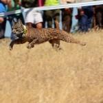 Iberlince liberará ocho nuevos ejemplares de lince ibérico en los Montes de Toledo