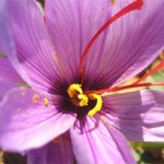 El azafrán de La Mancha: Belleza que alimenta