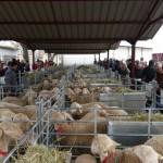 Subasta en Manzanares: 1.590 euros por un semental de raza ovina manchega