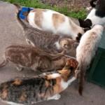 Ciudad Real Cats pide al Ayuntamiento que no multe a las personas que alimentan a los gatos