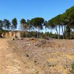 Arrasados dos bosquetes de mimosas en el Parque Natural del Valle de Alcudia y Sierra Madrona