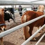 """Denuncian a la Fiscalía poner """"Catalán de mierda"""" a un caballo en Ciudad Real"""