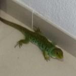 Un lagarto despistado en Puertollano