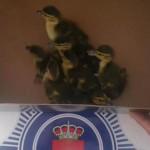 Puertollano: No es feria para polluelos