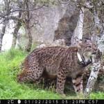 Las andanzas de los felinos andariegos: Dos linces liberados en Toledo llegan a Portugal y La Rioja