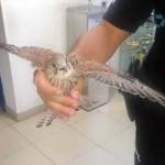 Puertollano: Las desventuras del pequeño cernícalo y el pollito de búho