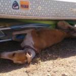 Puertollano: Aplican la eutanasia a Carmen, una galga abandonada en lamentables condiciones