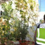 Puertollano: Detenido por plantar marihuana en doce macetas y venderla en su casa