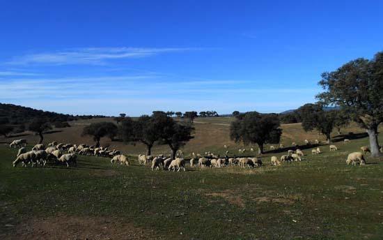 Son 1.500 ovejas las que han sido conducidas desde la Serranía de Cuenca a Mestanza