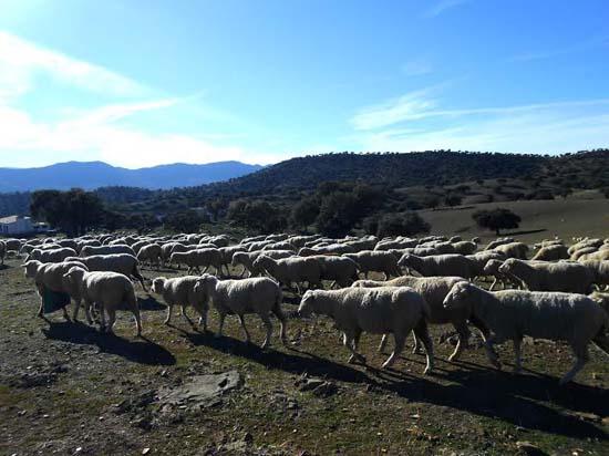 La abundancia de pastos, bellotas y la vasta superficie hacen del Valle de Alcudia una zona de invernada idónea para la trashumancia