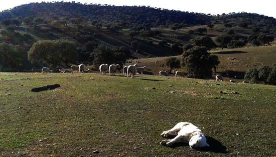 El rebaño trashumante de los hermanos Cardo pasará 6 meses en una finca del Valle de Alcudia
