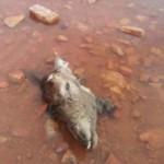 Huellas rectifica y la Policía Local aclara que los restos encontrados corresponden a la cabeza de un ciervo
