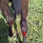 Activistas DHE denuncia un caso de maltrato animal en Argamasilla de Calatrava