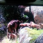 Localizada la segunda camada de cachorros de lince ibérico en Montes de Toledo