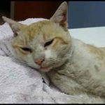 Puertollano: La nueva asociación Arañazos pide ayuda para un gato gravemente herido
