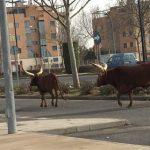Dos toros y unos ponis del circo de Ciudad Real fueron soltados por animalistas al grito de «liberación animal»