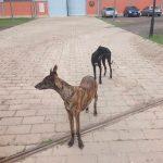 La Bienvenida pide ayuda para la recogida de galgos sueltos por Ciudad Real